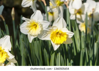 Yellow and white narcissus flowers in a garden during spring