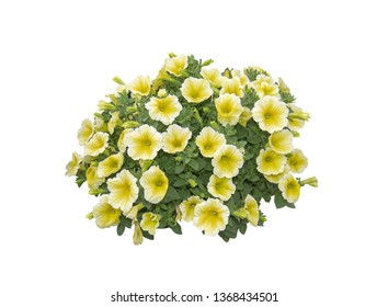 Yellow white petunia flowers composition in round shape isolated on white.