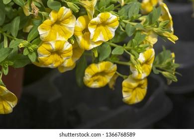 Yellow white petunia flowers. Spring garden series, Mallorca, Spain.