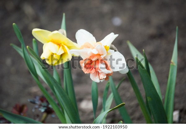 yellow-white-pink-terry-daffodils-600w-1