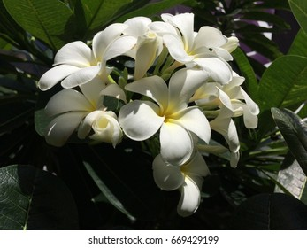 Yellow and white  plumeria with summer  on the tree.