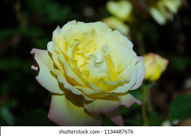 Yellow and white rose in dark shadows, rose beauty