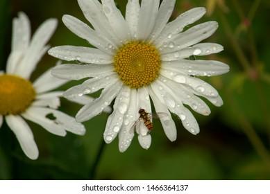 Yellow and white Shasta daisy flowers