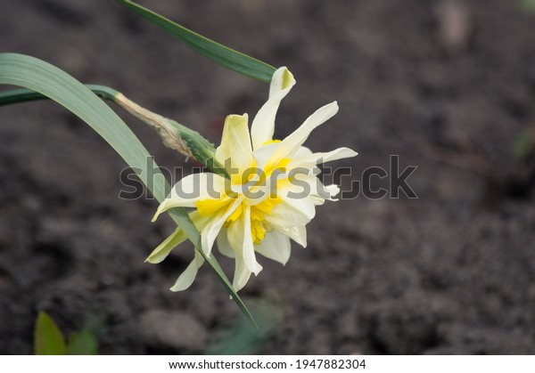 yellow-white-terry-daffodil-variety-600w