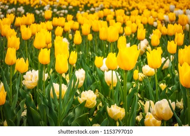 Yellow and white tulips in spring at the Floriade Festival in Canberra, Australian Capital Territory, Australia.