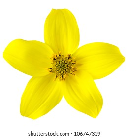 Yellow Wild Flower with Five Petals Isolated on White Background