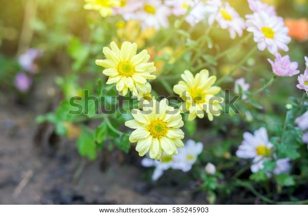 Yellow Wild flower in Morning glow