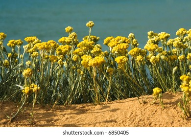 Yellow wild flowers framed by sand and sea