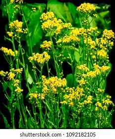Yellow wild flowers and green leaves on a dark background