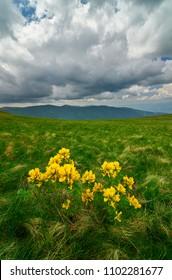 A yellow wild flowers on mountain. Kalin Kamen peak on Osogovski mountains in Macedonia.
