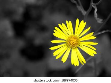 Yellow wild mountain daisy on B/W background