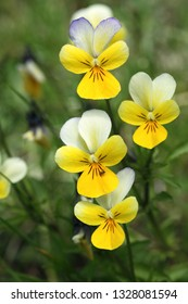 Yellow wild pansy flowers / Viola tricolor/ Alpine meadow violets growing in Swiss Alps