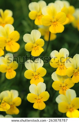 Yellow wild pansy flowers viola tricolor stock photo edit now yellow wild pansy flowers viola tricolor alpine violet flowers growing in swiss alps mightylinksfo