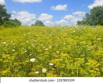 Yellow Wild Parsnip Flower Meadow Pastinaca sativa