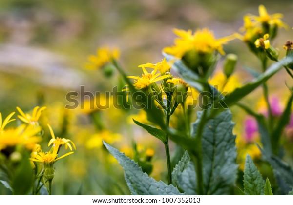 Yellow Wildflower Bokeh
