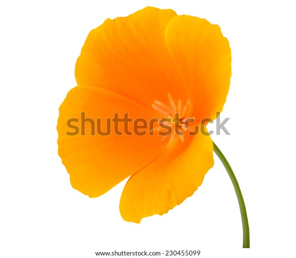 Yellow Wildflower Flower with Orange center on Green Stick Isolated on White Background