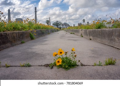 Yellow wildflower growing in a crack in the sidewalk of cemetery