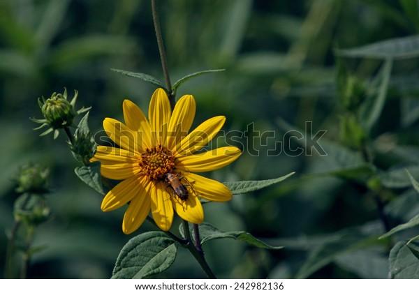 Yellow wildflower on dark green background. Gumweed - Grindelia squarrosa. Aster family. Pennsylvania Leatherwing (Family Cantharidae)