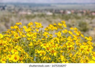 Yellow Wildflowers in Anza Borrego