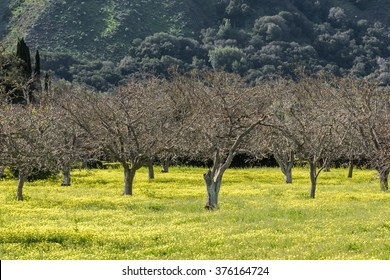 Yellow wildflowers blanket the ground of a Walnut tree orchard in Carmel Valley, in central California, USA.