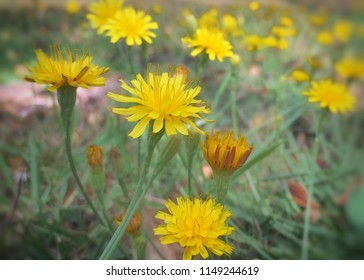 The yellow wildflowers in the field in summertime