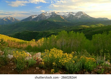 Yellow wildflowers and green aspens with Mount Timpanogos, Utah, USA.