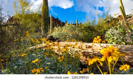 Yellow wildflowers growing alongside a fallen saguaro cactus skeleton. Sonoran Desert landscape near Tucson, Arizona. Green cacti, Encelia farinose or brittle bush, blue sky white clouds. Winter 2018.