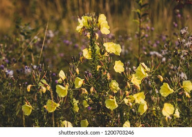 Yellow wildflowers growing in a field of tall dry grass
