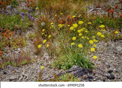 Yellow wildflowers  the meadows of Johnston Ridge, Mt St Helens Volcanic National Monument, Washington