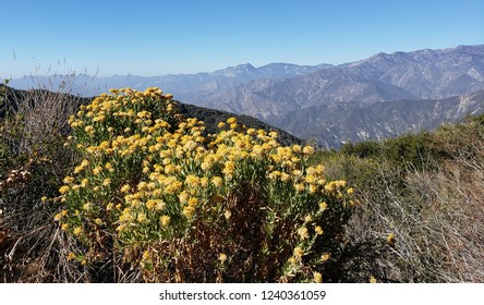 Yellow wildflowers on a mountain side, California