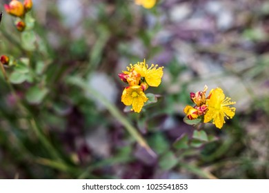 Yellow Wildflowers in Rocky Terrain
