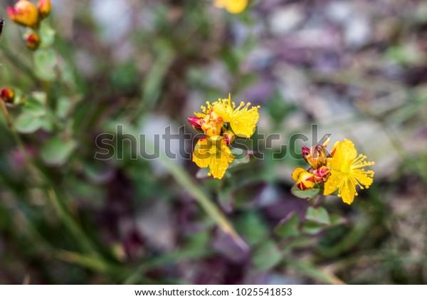 Yellow Wildflowers in Rocky Terrain