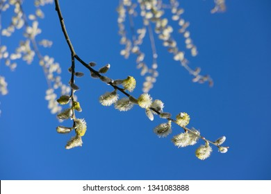 Yellow willow flowers on a branch in summer with blue sky