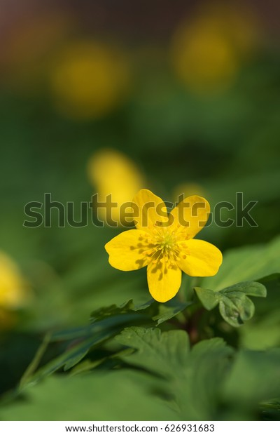 Yellow wood anemone blooms in the forest. (Anemone ranunculoides). Spring wildflowers. Selective soft focus.
