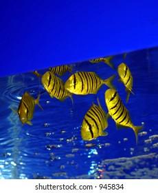 Yellow zebra fish