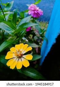 A yellow zenia flower appears between the pink zenia flowers