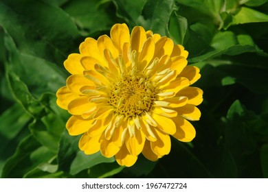 Yellow zinnia elegans flower  (common zinnia; youth-and-age; elegant zinnia) in the garden on a sunny morning, close-up, top view