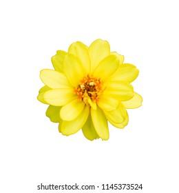 Yellow Zinnia. Yellow flower on white background. Isolated