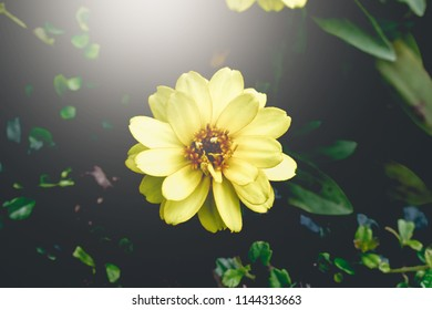 Yellow Zinnia, Yellow flower and sunlight and dark background. Vintage filter.