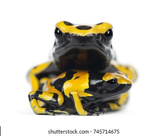 Yellow-Banded Poison Dart Frogs, also known as a Yellow-Headed Poison Dart Frog and Bumblebee Poison Frog, Dendrobates leucomelas, with young, portrait against white background
