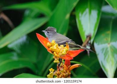Yellow-bellied Elaenia (Elaenia flavogaster) in a tropical garden, Tortuguero, Costa Rica