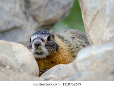 Yellow-bellied marmot (Marmota flaviventris) at Baker Creek Campground, Great Basin National Park, White Pine County, Nevada, USA.
