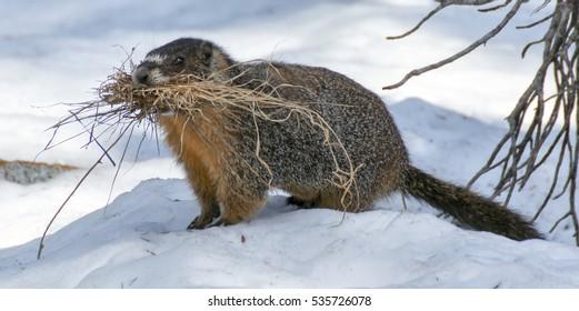 Yellow-bellied Marmot (Marmota flaviventris) carrying grass to line its burrow for warmth and comfort. Desolation Wilderness, El Dorado County, California, USA.