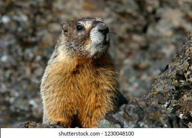 Yellow-bellied marmot (Marmota flaviventris), Gerber Reservoir Campground, BLM, Oregon, USA