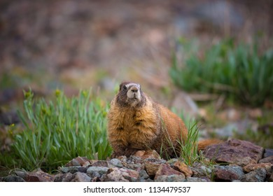Yellow-bellied Marmot Marmota flaviventris looks directly into the camera