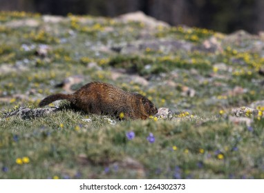 A yellow-bellied marmot (Marmota flaviventris) scurrying in a high elevation meadow.  Shot in Rocky Mountain National Park, Colorado, USA, just off of the Trail Ridge Road.