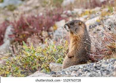 Yellow-bellied Marmot sitting on the tundra, surrounded by warm fall colors. Colorado, USA.