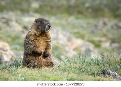 Yellow-bellied Marmot sitting on the tundra. Colorado, USA.