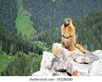 Yellow-Bellied Marmot standing on rocks in Colorado