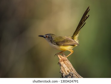 Yellow-bellied Prinia ( Prinia flaviventris ) on dry branch.